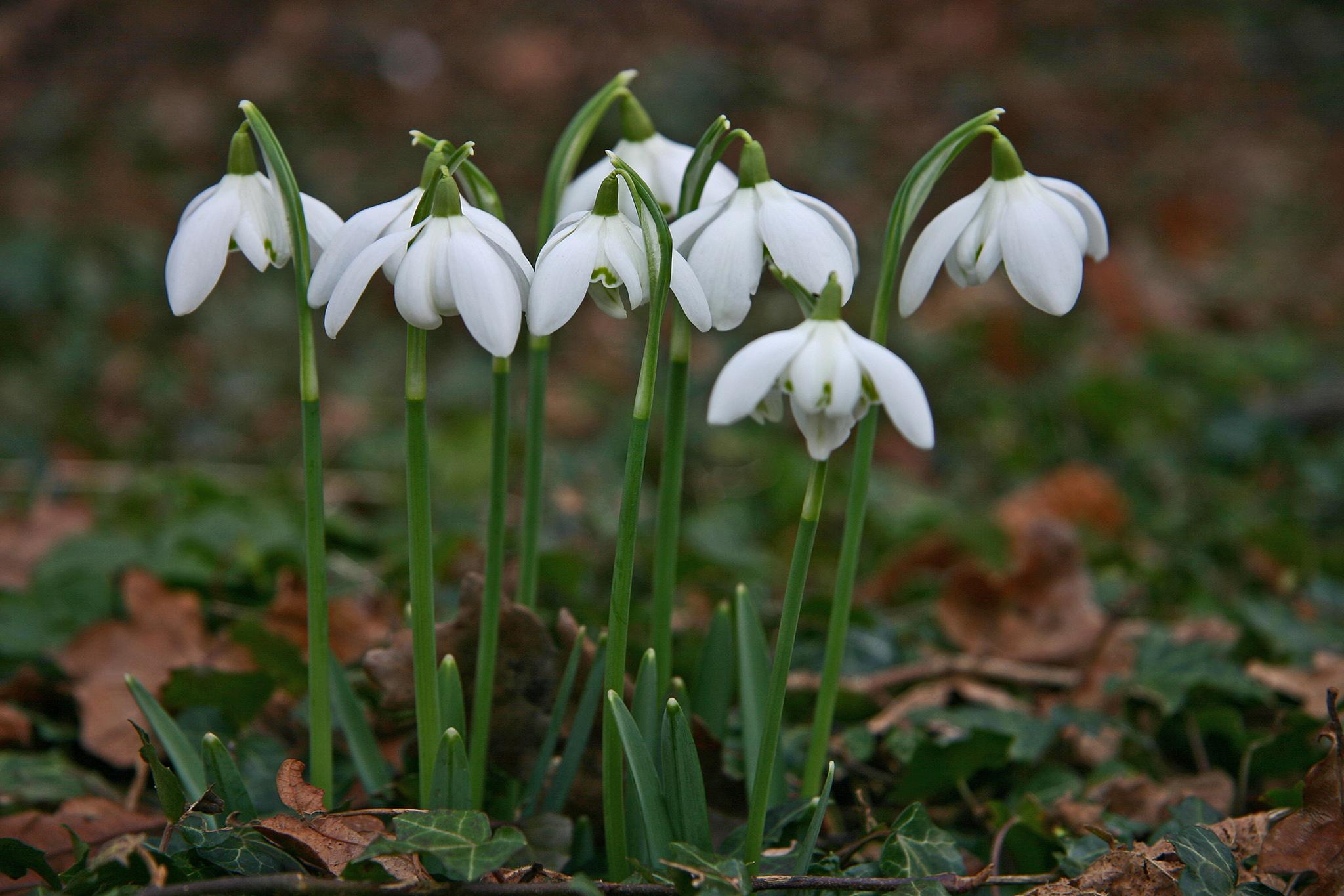 گل بهمن ، گل زمستانی